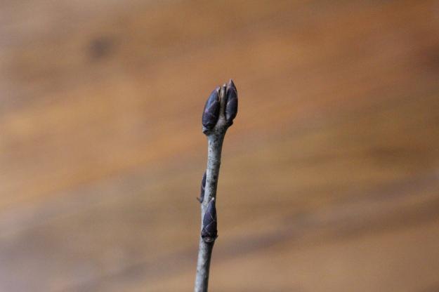 europeanbuckthorn-bud1