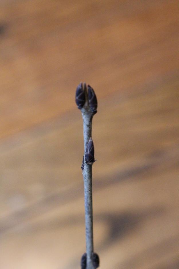 europeanbuckthorn-bud2