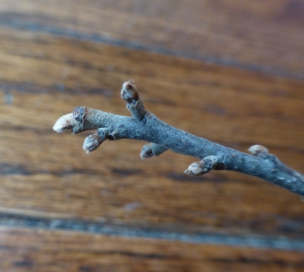glossybuckthorn-bud1