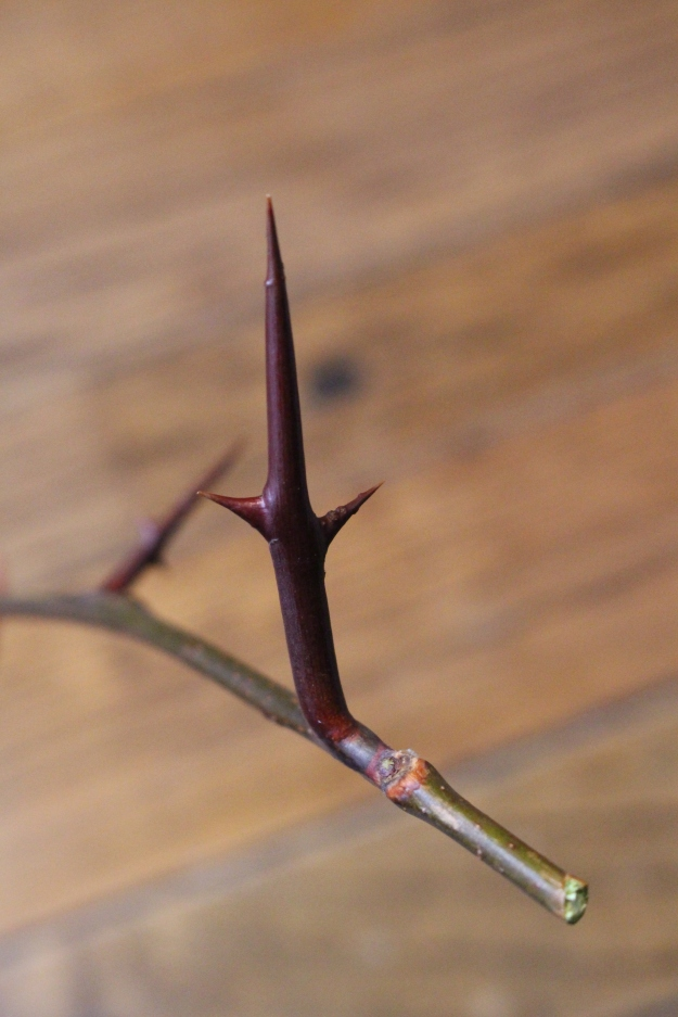 honeylocust-bud1