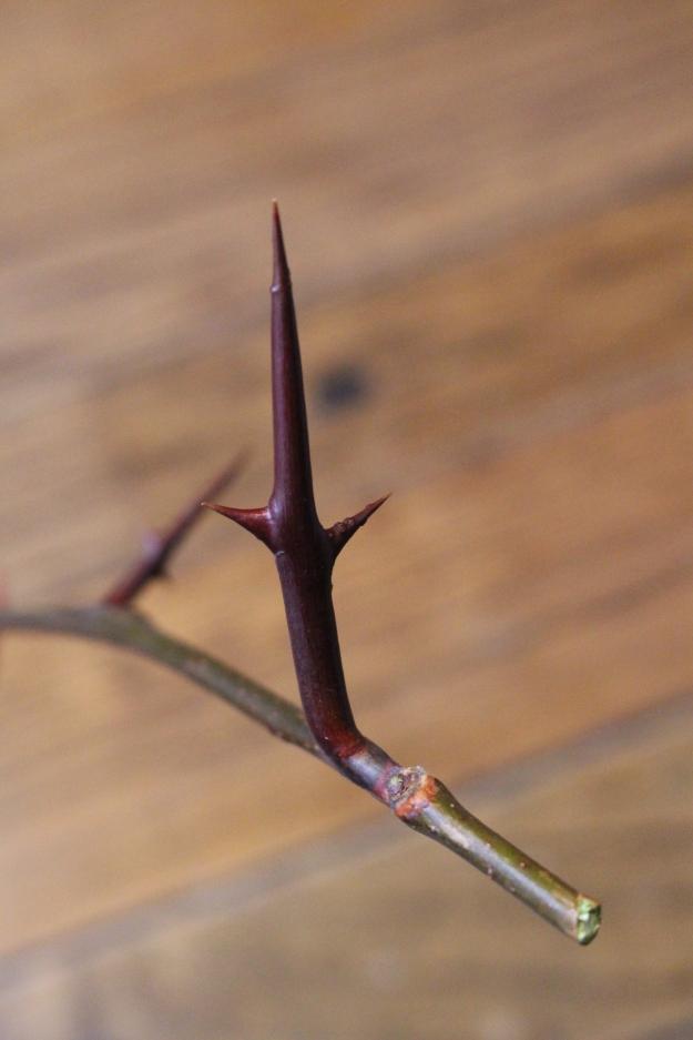honeylocust-bud1