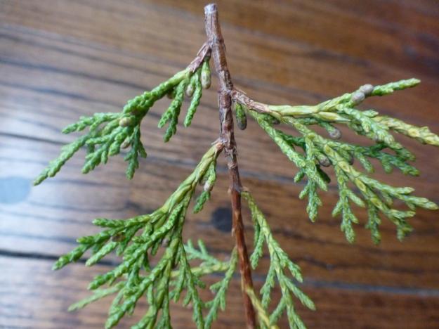 juniper-buds1