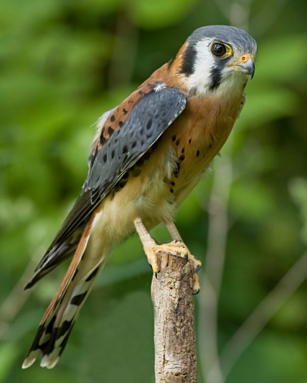 American Kestrel (photo: wikimedia)