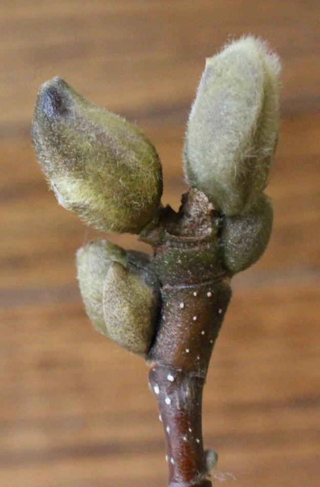 magnolia-bud-1