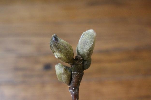 magnolia-bud3