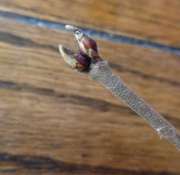 mapleleavedviburnum-bud1