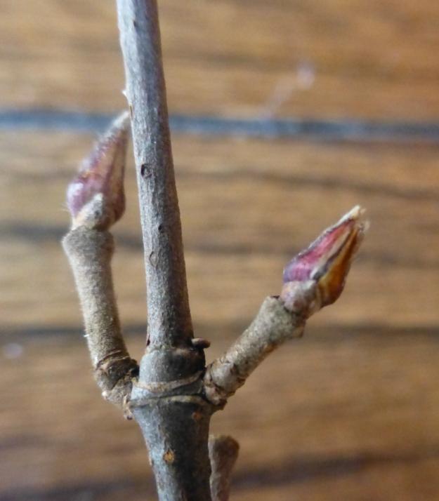 mapleleavedviburnum-bud2