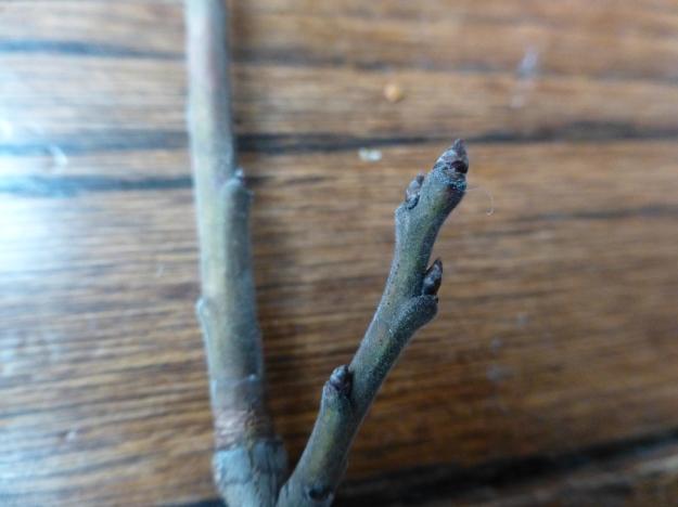 pincherry-buds2