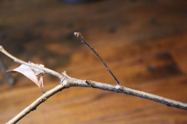 swamp-white-oak-bud1