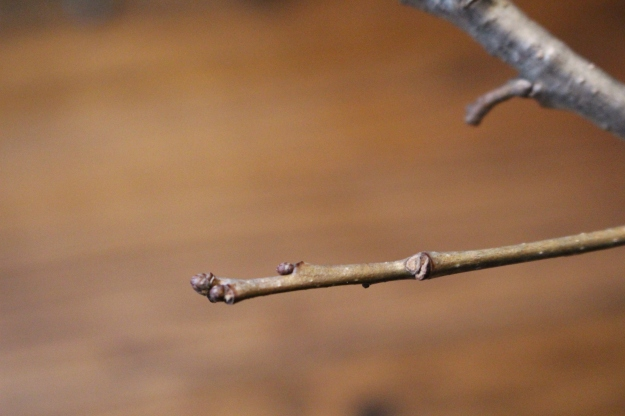 swamp-white-oak-bud3