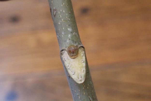 treeofheaven-bud4
