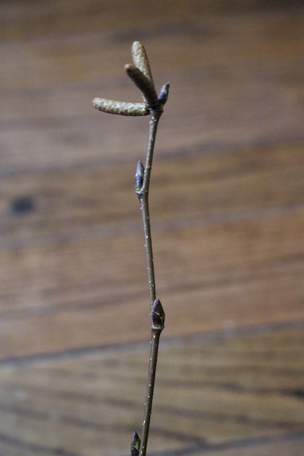 white-birch-bud-2 (853x1280)