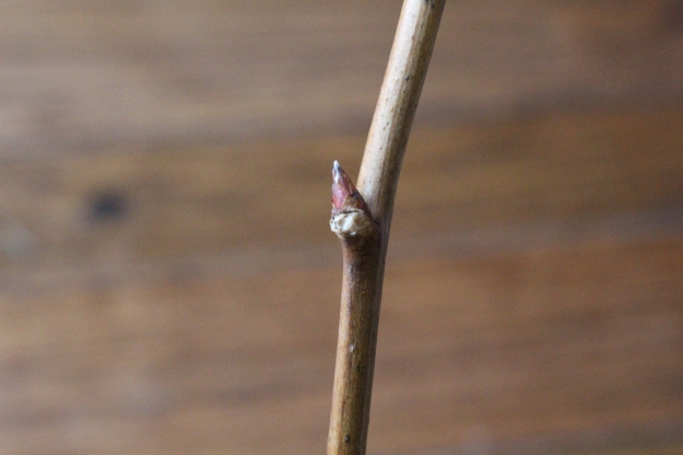whitemulberry-bud1