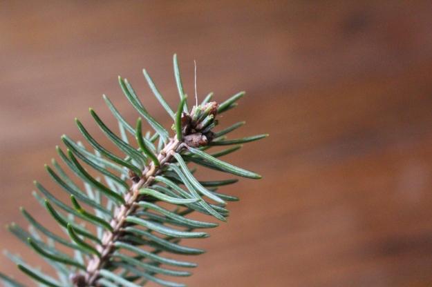 whitespruce-bud1