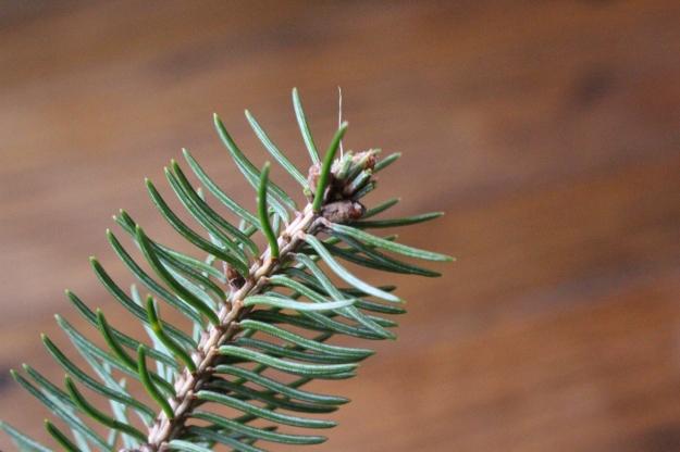 whitespruce-bud2