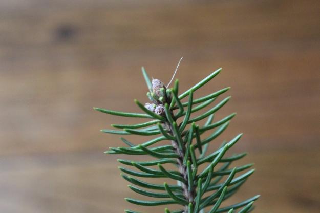 whitespruce-bud4