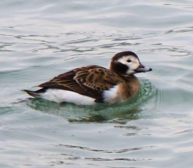 Long-tailed Duck (female) photo: John Burns