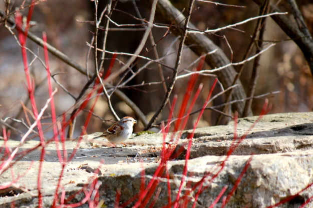 American Tree Sparrow Ashbridge's Bay Park: Photo: Judy-Ann Cazemier