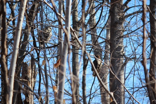 Barred Owl and Red-tailed Hawk L'Amoreaux Park