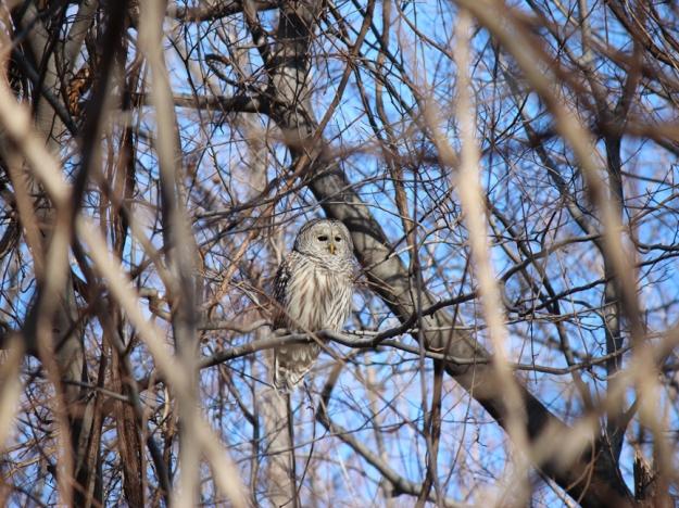 Barred Owl L'Amoreaux Park