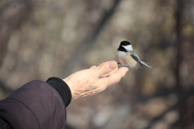 Chickadee Perched on Hand Ashbridge's Bay Park: Photo: Judy-Ann Cazemier