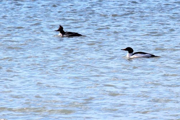 Common Mergansers Ashbridge's Bay Park: Photo: Judy-Ann Cazemier
