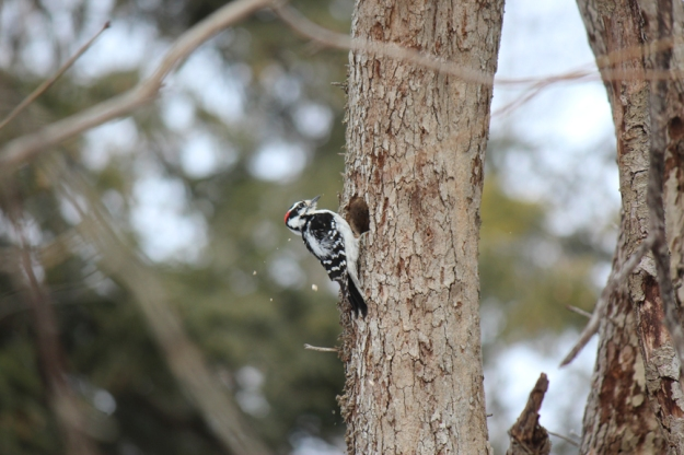 Downy Woodpecker Wilket Creek Park