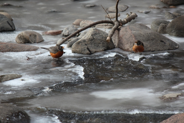 Robins on Ice Wilket Creek Park