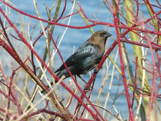 Cowbird (male) Photo: Ken Sproule