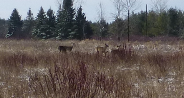 deer at Lynde Shores