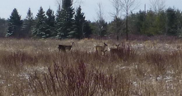 deer at Lynde Shores