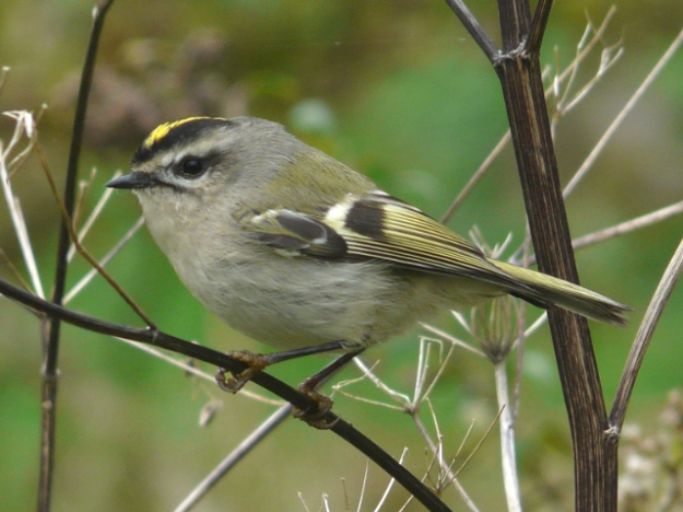 Golden-crowned Kinglet (Photo: Ken Sproule)