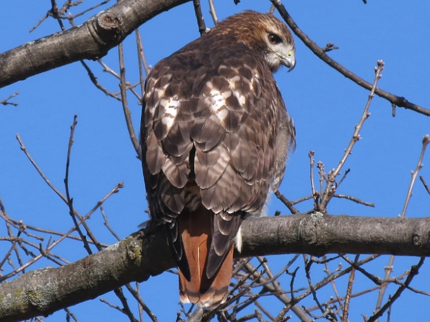 Red-tailed Hawk (photo: Ken Sproule)