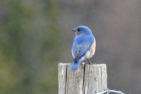 Eastern Bluebird (Photo: Heather Pantrey)