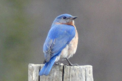 Eastern Bluebird (photo: Heather Pantrey)