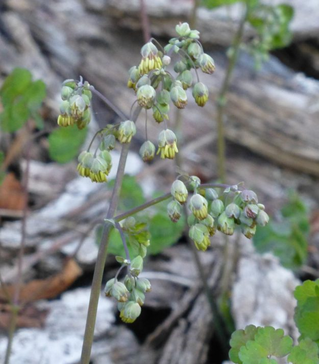 Early Meadowrue (Thalictrum dioicum)