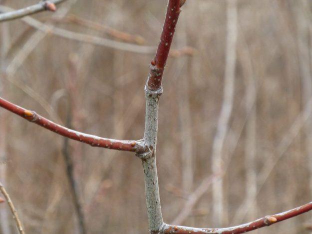 European linden (Tilia cordata)