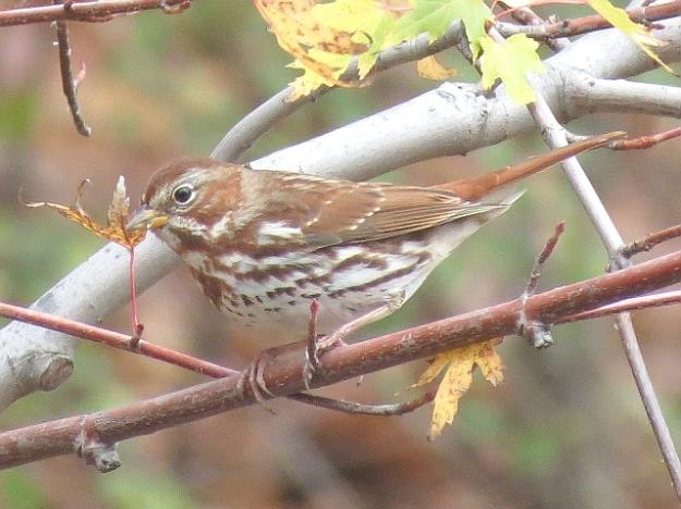 Fox Sparrow (photo: Ken Sproule)