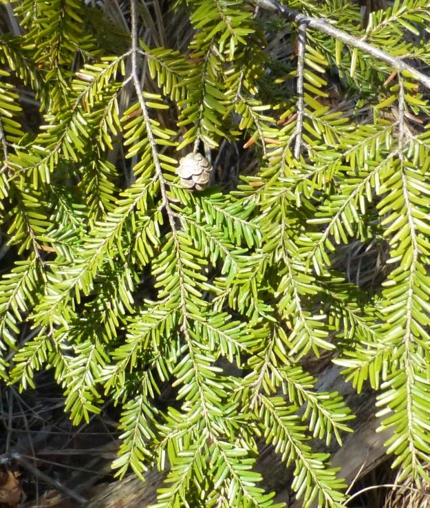 Eastern hemlock ( Tsuga canadensis)