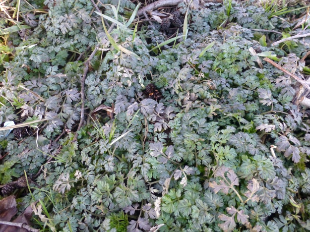 Hedge-parsley (Torilis japonica)