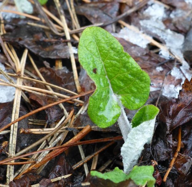 Burdock leaf (Arctium)