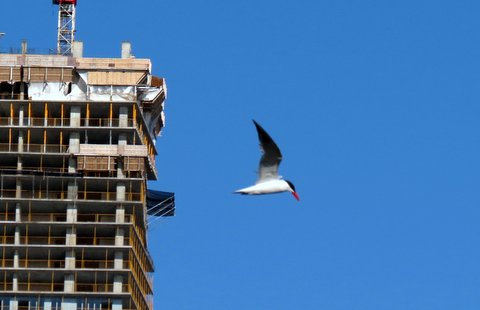 Caspian tern (Photo: Joseph Stel)