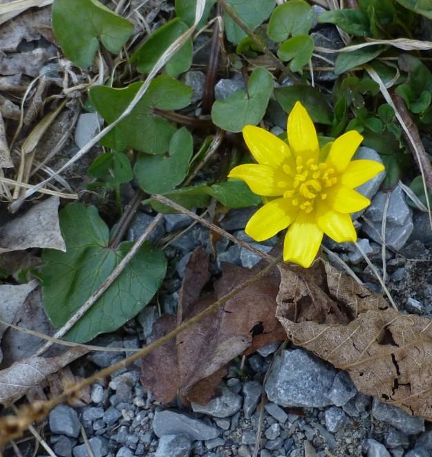 Lesser Celandine ( Ficaria verna)