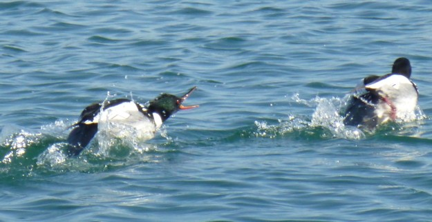 Red-breasted Merganser males