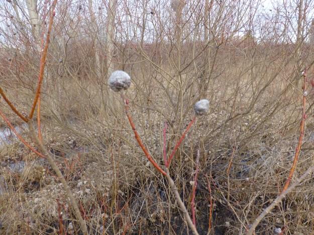 Galls of Missouri Willow (Salix eriocephala)