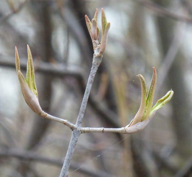 Nannyberry (Viburnum lentago)