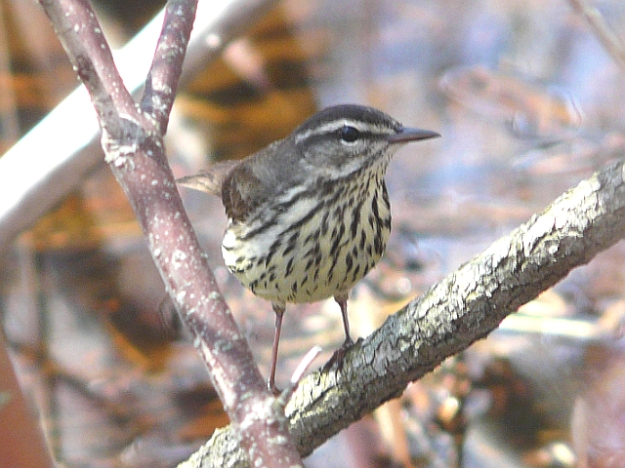Northern Waterthrush (photo: Ken Sproule)