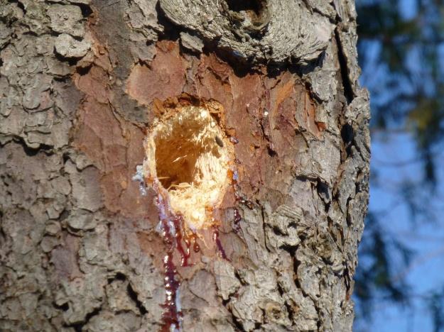 Pileated woodpecker work in spruce