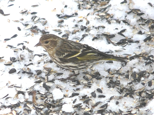 Pine Siskin (photo: Ken Sproule)