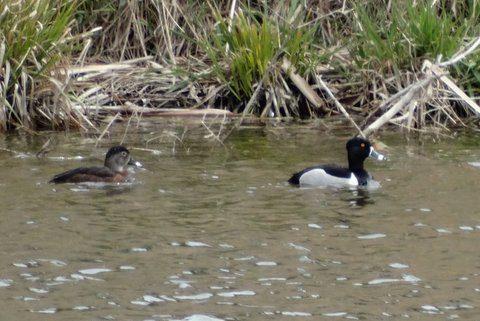 Ring-necked Duck (photo: Heather Pantrey)